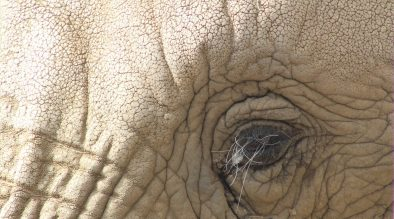 Elephant Eyelashes