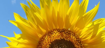 cropped-sunflower2.jpg