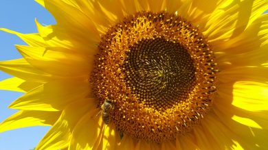 cropped-sunflower3.jpg
