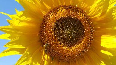 cropped-sunflower3.jpg