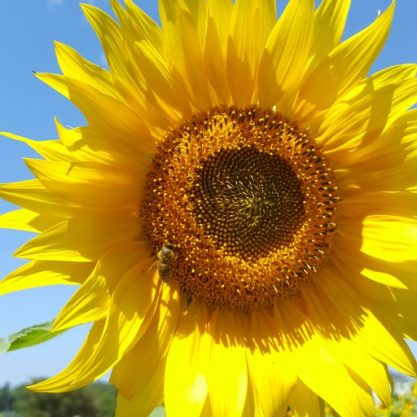 Sunflower Photo by Linda Kleineberg